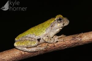 Cope's Treefrog